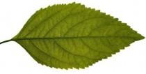 leaf_comp
