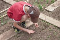 Photo - Boy planting seeds in a school garden.